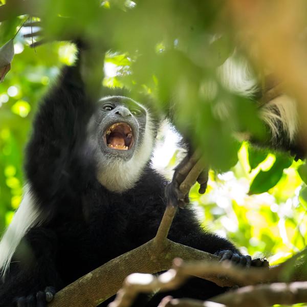Black & White Colobus Arusha National Park