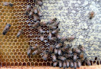 Beekeeper Joe Moncecchi 081114