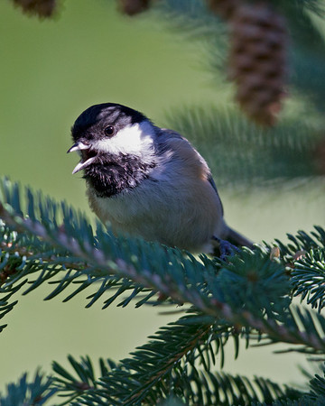 Chickadee & Nuthatches