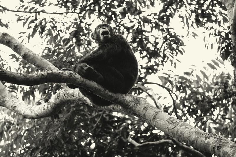 Uganda_T_Chimps-910.jpg