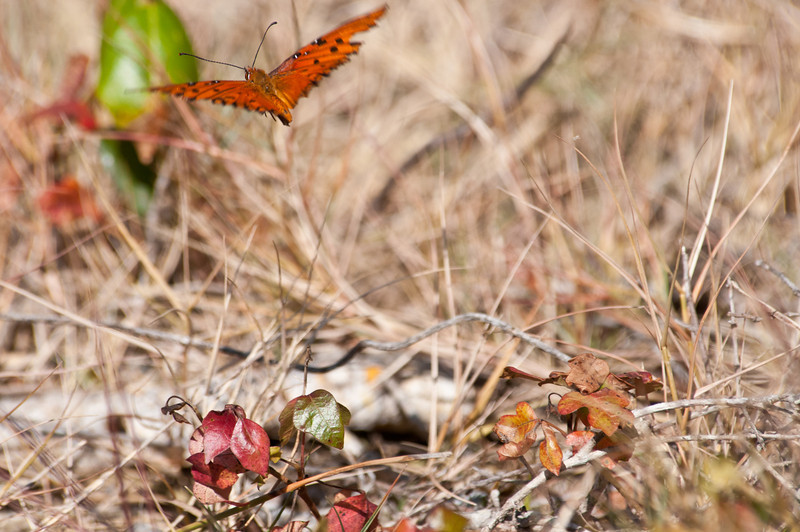Gulf Fritillary in flight at Ding Darling Bailey Tract