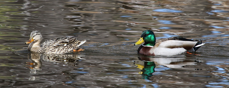 mallard duck pair.jpg