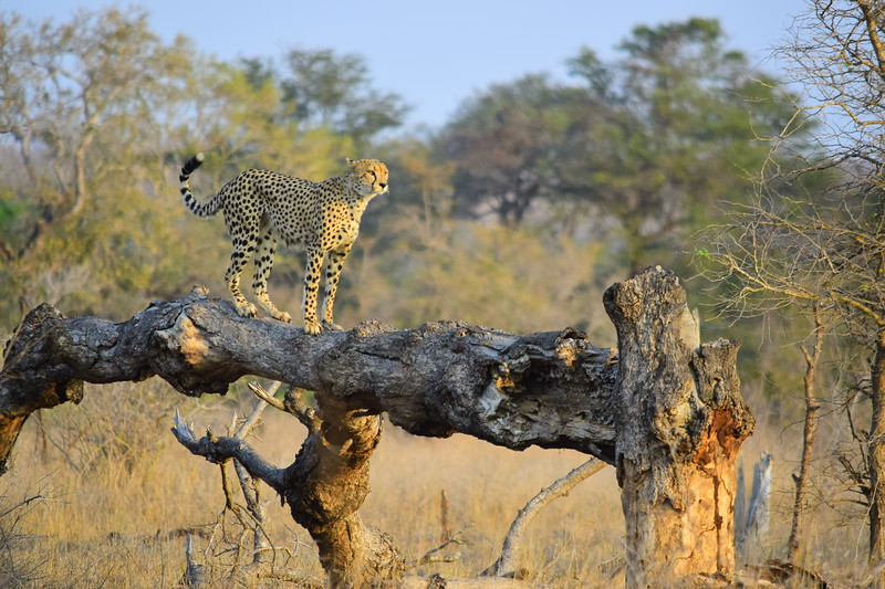 Cheetah On Stump