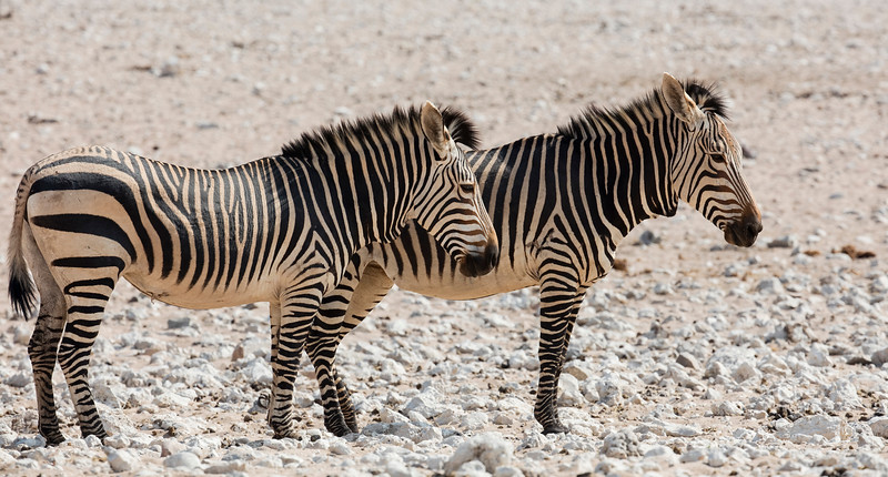 Hartmann's Mountain Zebra (sub-species of Mountain Zebra)