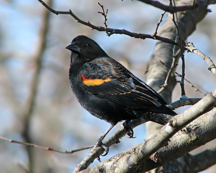 red_winged_blackbird_8858.jpg