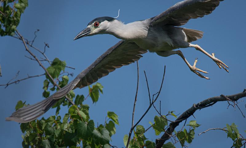_5006952 Black-crowned Night Heron take off.jpg