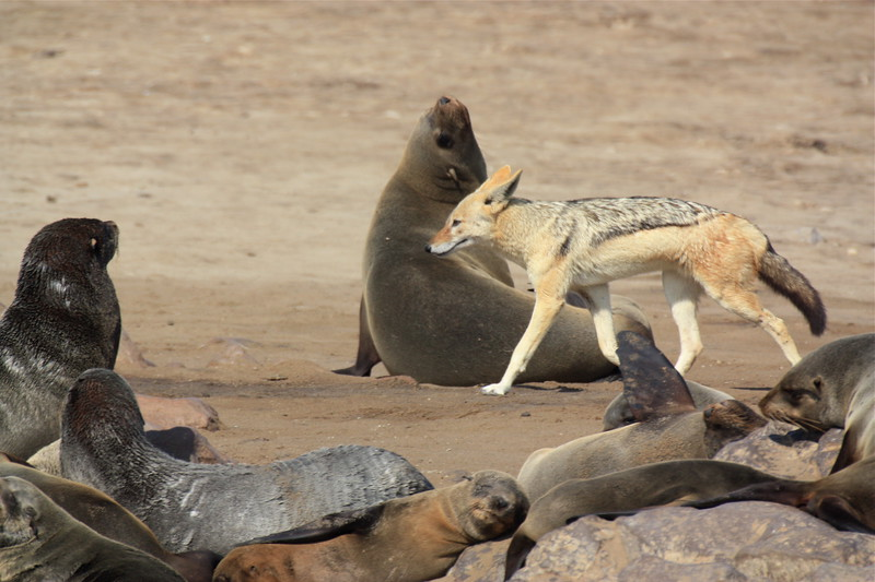 Cape Cross jackal.jpg