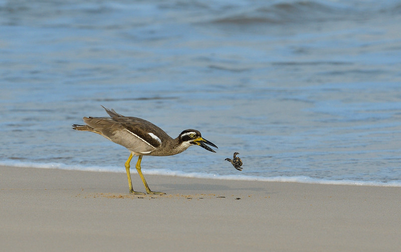 Beach-Thick-knee-with-crab-little-andaman-11.jpg