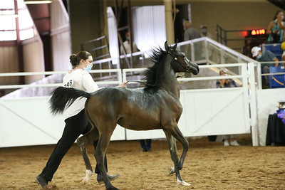233 ANBF Weanling Champion Filly AOTH