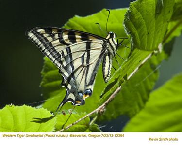 WesternTigerSwallowtail12384.jpg