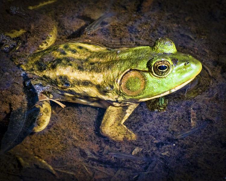 Barataria Frog