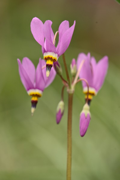 Few-flowered Shootingstar
