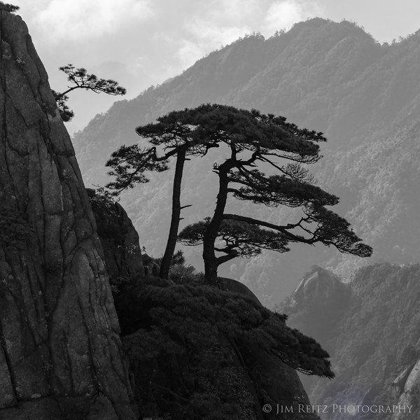 One of Huangshan's signature twisted pine trees - black & white rendition.