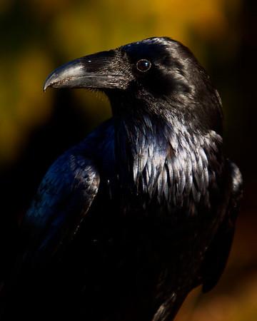 Saturday Raven