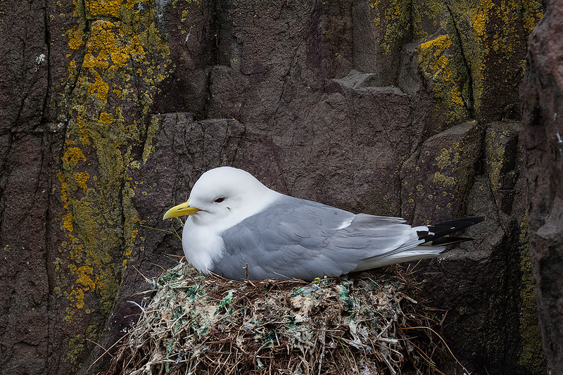Kittiwake on Nest