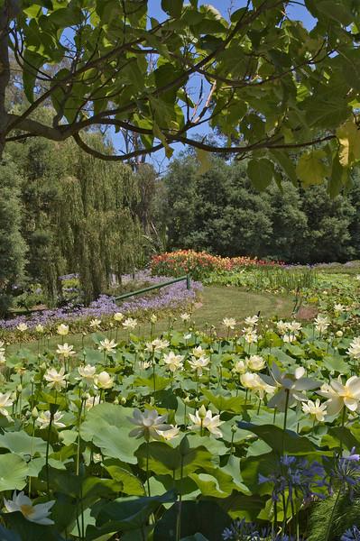 20080103_1267 Blue Lotus Water Garden