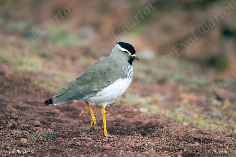 Spot-breasted Plover (Vanellus melanocephalus)