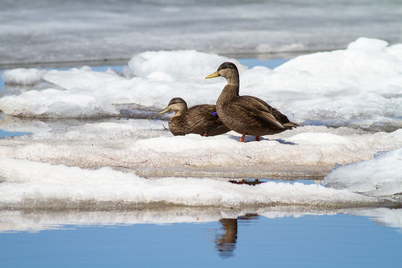 American Black Duck pair on ice bayside of Park Point Duluth MNIMG_1926.jpg