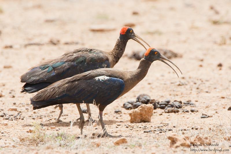 Red-naped Ibis - Kutch, Gujrat, India
