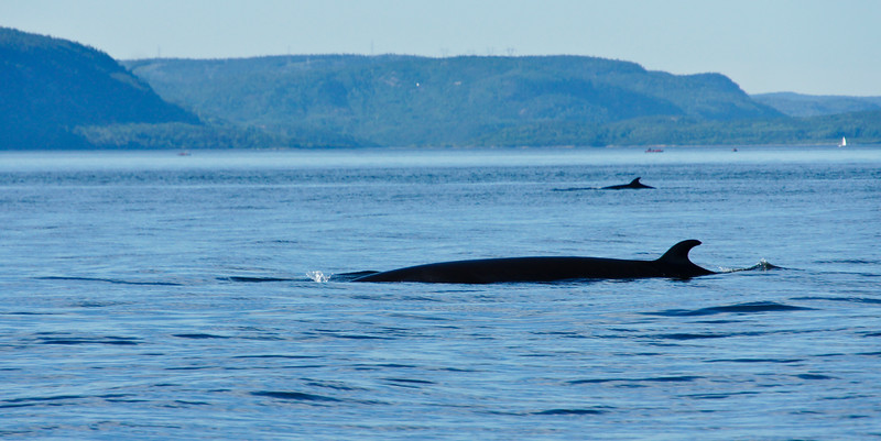 2011 quebec whale watching (6 of 80).jpg
