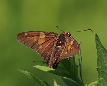 Spreadwing Skippers - Hesperiidae-Pyrginae