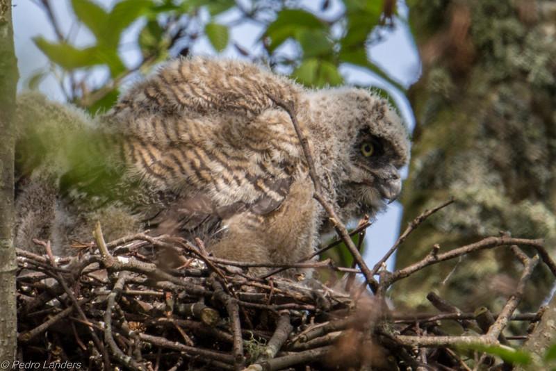 Great Horned Owlets 04.jpg
