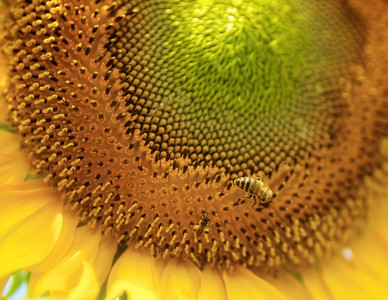 Bobbee's Sunflowers Aug 2011