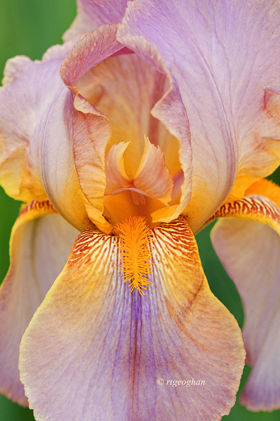 Bearded Iris Easter Bonnet