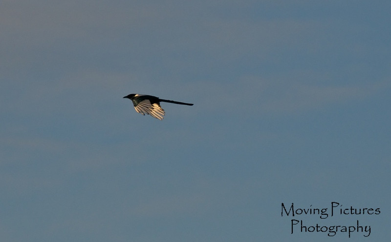 The ever present Magpie