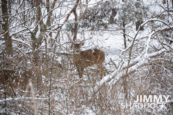 Deer at Prairie Creek Snow