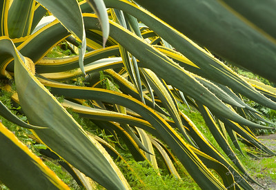 Giant Agave Americana