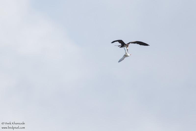 Magnificent Frigatebirds harassing Red-billed Tropicbird - Little Tobago Island, Tobago