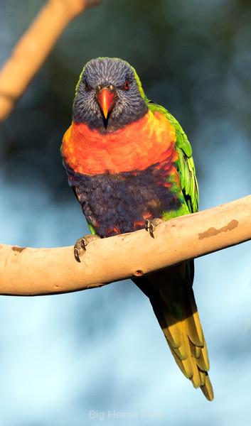 Cronulla parrots 12.jpg