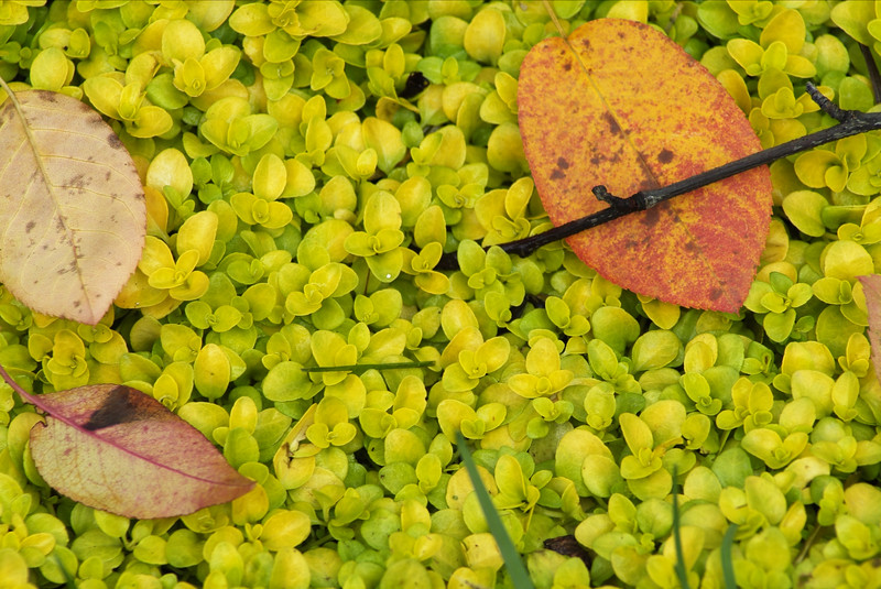 FallLeaves on Sedum