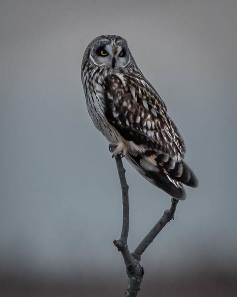Short-eared Owl male portrait