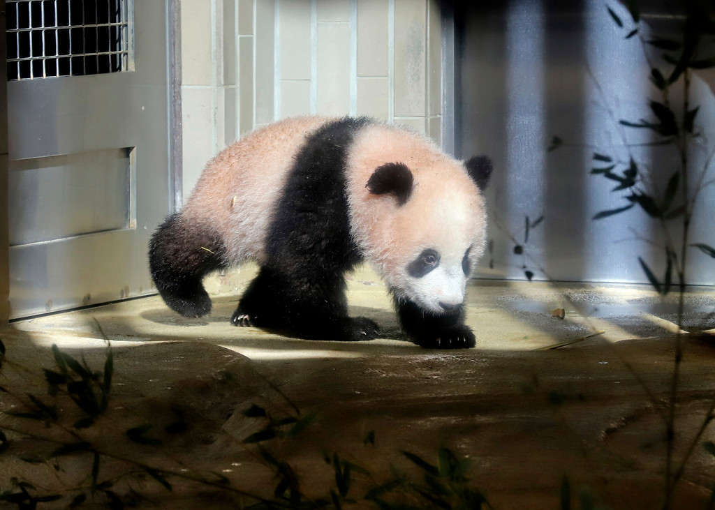 . In this Monday, Dec. 18, 2017, photo, female giant panda cub Xiang Xiang walks in a cage during a press preview at the Ueno Zoological gardens in Tokyo. Tokyo�s new idol, baby panda Xiang Xiang, formally debuted Tuesday, immediately melting the hearts of hundreds of fans decorating themselves with panda motifs who visited the zoo and the neighborhood filled with festivity. (Yoshikazu Tsuno/Pool Photo via AP)