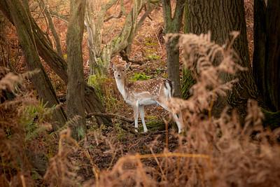 2019 - Deer at Knole Park November 004