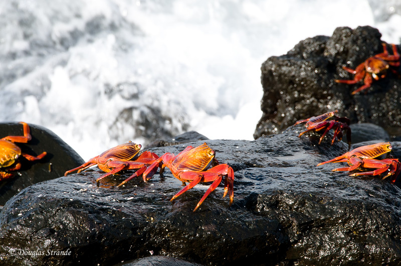 Sally Lightfoot Crabs (zayapas) at Punta Suarez, Espanola Island