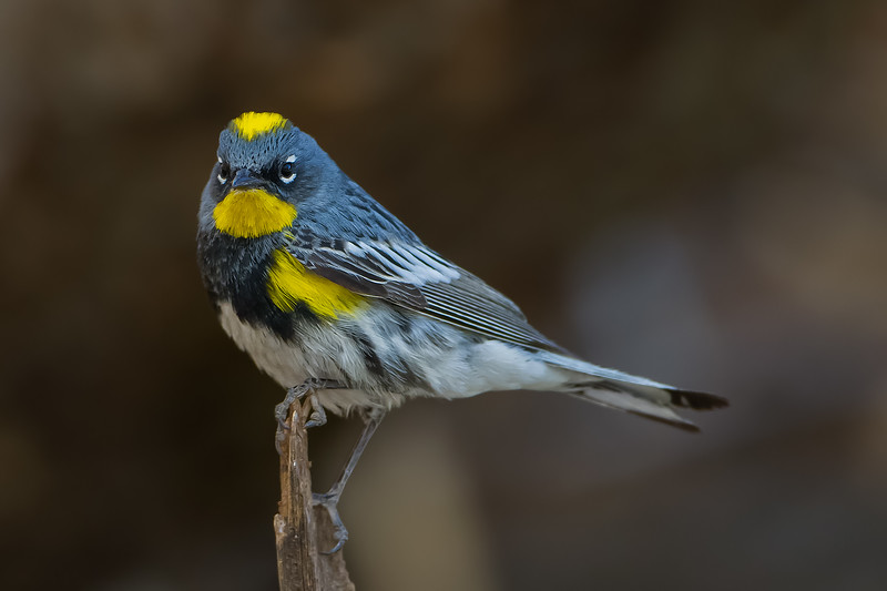 Yellow-rumped Warbler - Carr Canyon, AZ, USA