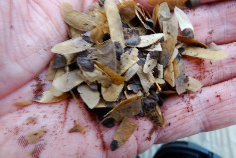 Embothrium coccineum seed