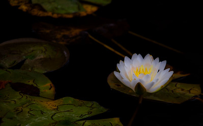 2012 Water Lilies at the Centennial Park Conservatory, Toronto