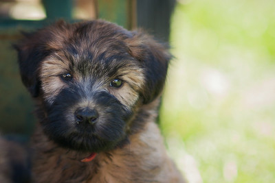 Ridire Wheaten Terriers 2014