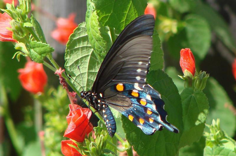 Pipevine Swallowtail (Battus philenor) male. TX: Tarrant Co. (Duhons' Fort Worth yard), 1 October 2008.