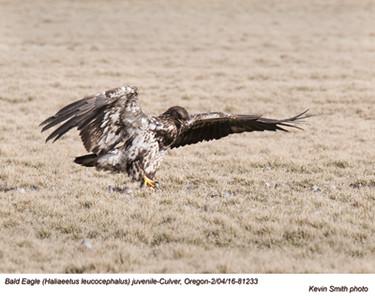 Bald Eagle J81233.jpg