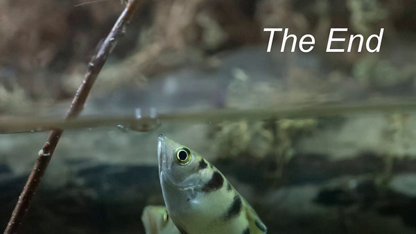 Archer fish 3