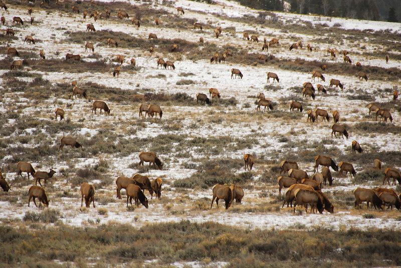 Elk herds   (Dec 12, 2006, 02:24pm)  Seen along the National Elk Refuge Road, just north of Jackson, Wyoming.