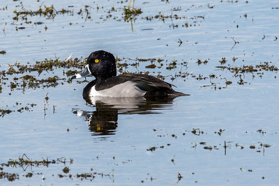 Ring -necked Duck