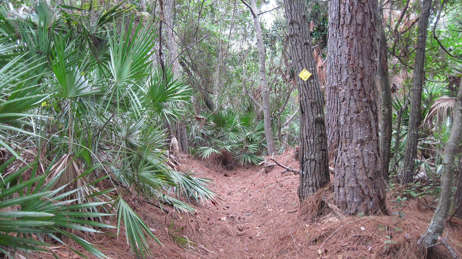 Footpath under pines
