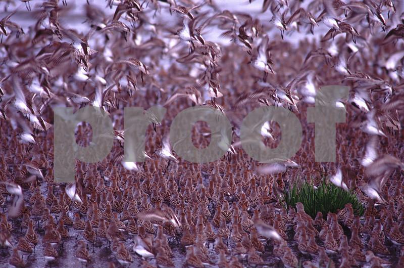 Shore birds at Bowerman Basin, Hoquiam, WA