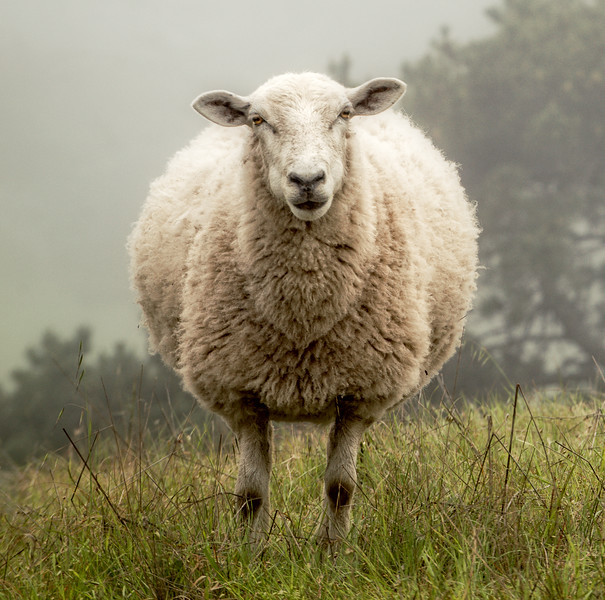Woolly Sheep (Square) Sea Ranch, California